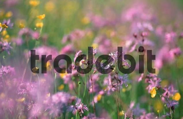 Ragged Robin, Lower Saxony, Germany Lychnis flos-cuculi