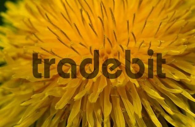 Dandelion, Germany / Taraxacum officinale