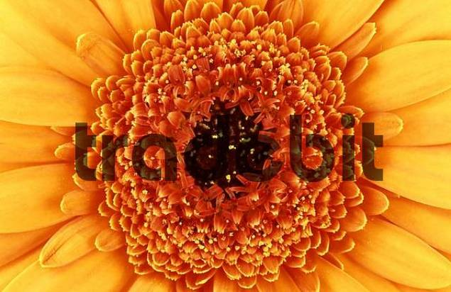 Gerbera, flower detail