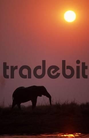 African Elephant at Chobe river, Chobe national park, Botswana / Loxodonta africana / side