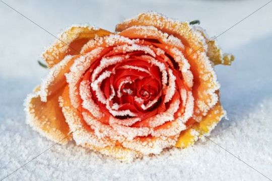 Frozen Rose Rosa cultivar, hoarfrost covered blossom in snow