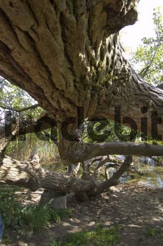 huge tree trunk at the water on the Fraueninsel at the Lake Chiemsee in the Chiemgau Upper Bavaria Germany