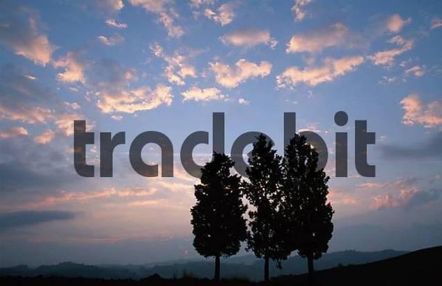 Italian Zypresses at dawn, San Giovanni, Tuscany, Italy / Cupressus sempervirens