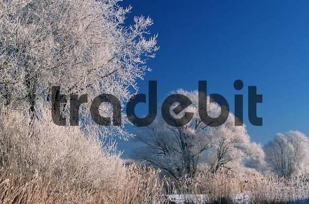 Hoarfrost covered Trees, Bavaria, Germany