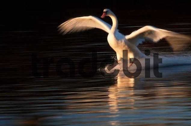 Mute Swan landing, Bavaria, Germany / Cygnus olor