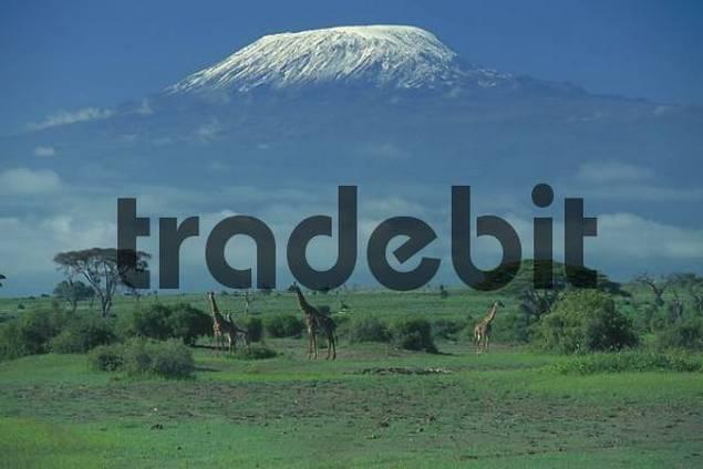 Steppe in front of Mt. Kilimanjaro, Amboseli national park, Kenya