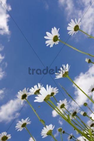 Oxeye Daisies Leucanthemum vulgare, Chrysanthemum leucanthemum, Leucanthemum leucanthemum, Leucanthemum vulgare