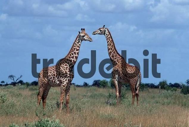 Giraffes, Tsavo national park, Kenya / Giraffa camelopardalis