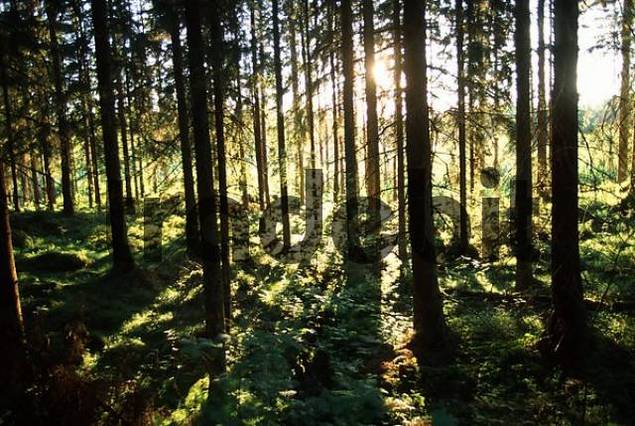 Sunrayes shining through coniferous forest, Sweden