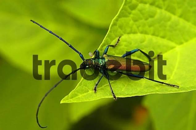 A longicorn sitting on a leaf Cerambycidae