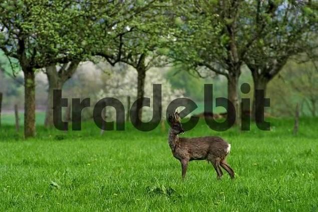 male deer roebuck standing in a meadow between fruit trees in springtime