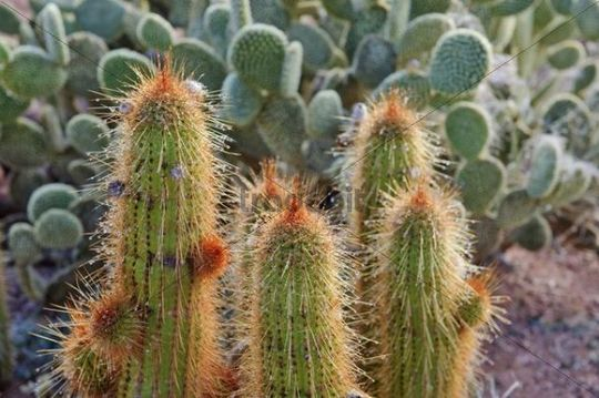 Cacti after a rainfall in the garden of the Namtib Lodge in the Tiras mountains, Namibia, Africa