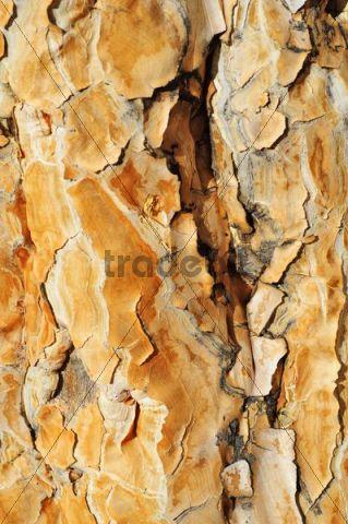 Quiver tree (Aloe dichotoma) bark at the Namtib Lodge in the Tiras mountains, Namibia, Africa