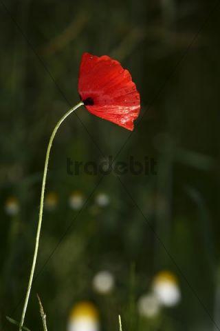 Corn or Field Poppy Papaver rhoeas