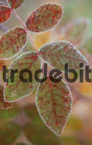 Hoarfrost covered leaf, Alaska, USA