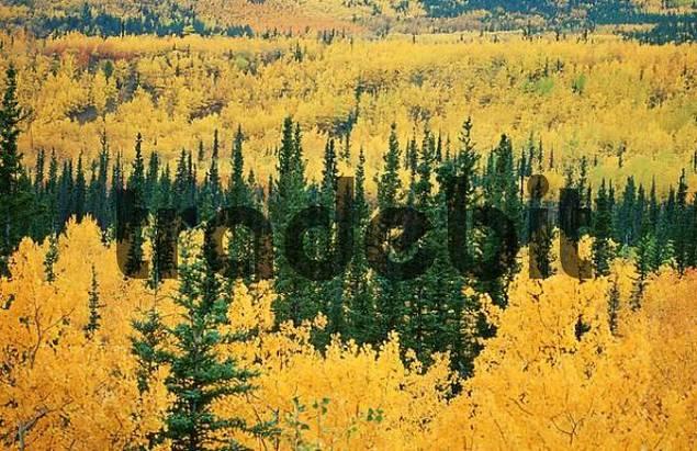 Mixed Forest in autumn, Whitehorse, Yukon Territory, Canada