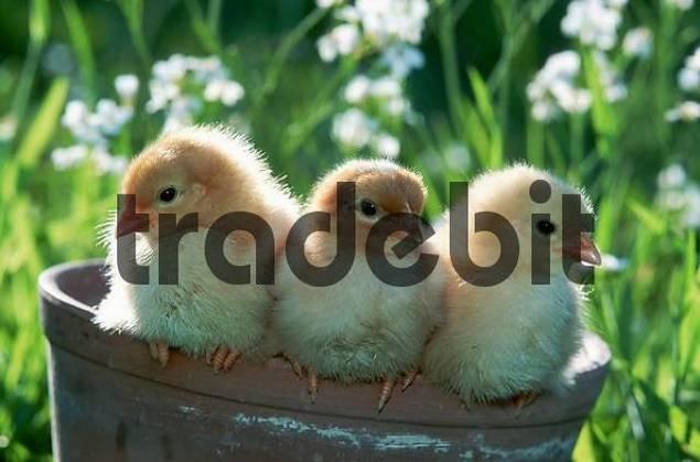Domestic Fowl, chicks