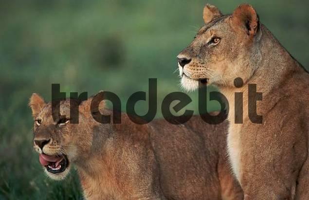 Lionesses, Serengeti national park, Kenya / Panthera leo