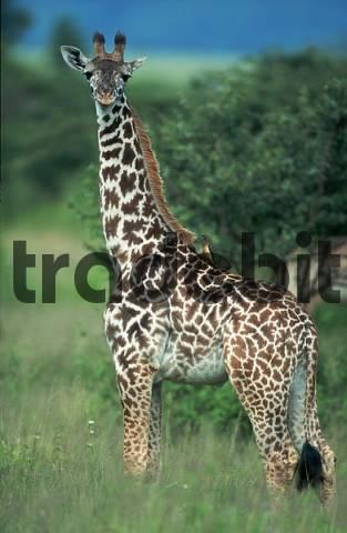 Young Giraffe, Serengeti national park, Tanzania / Giraffa camelopardalis / side