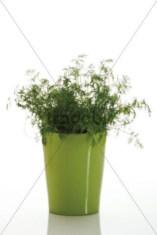 Dill Anethum graveolens in a pot
