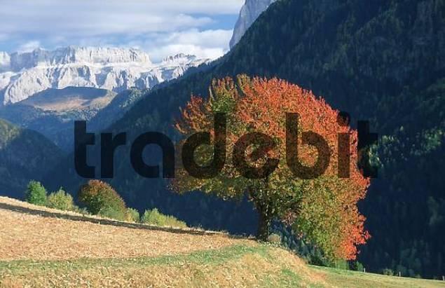 Wild Cherry Tree in autumn, South Tyrol, Italy / Prunus avium