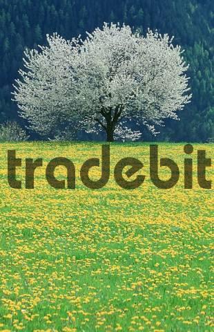 Blooming Wild Cherry Tree and Dandelion meadow, South Tyrol, Italy / Prunus avium