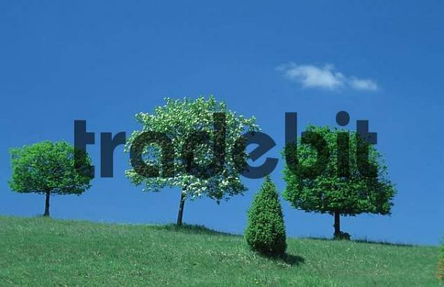 Small Leafed Limes and Rowan Ash, Baden-Wurttemberg, Germany / Tilia cordata, Sorbus aucuparia / Mountain Ash