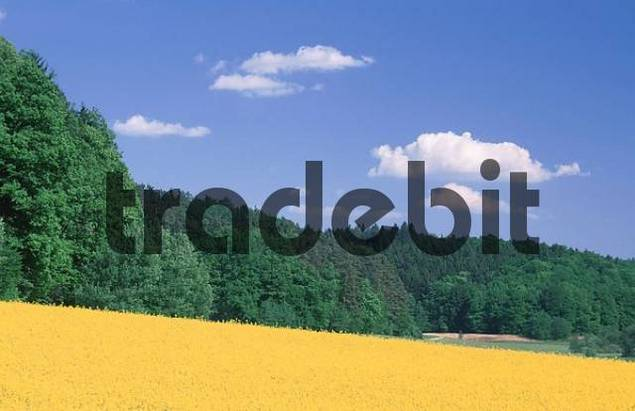 Blooming Rape field in front of Mixed Forest, Bavaria, Germany