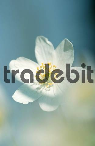 Wood Anemone, Germany / Anemone nemorosa