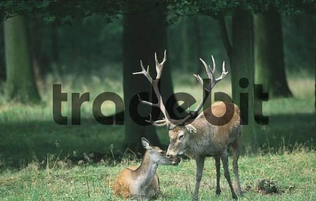 Red Deer, pair, Hessen, Germany / Cervus elaphus