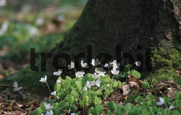 Wood-Sorrel, Lower Saxony, Germany / Oxalis acetosella