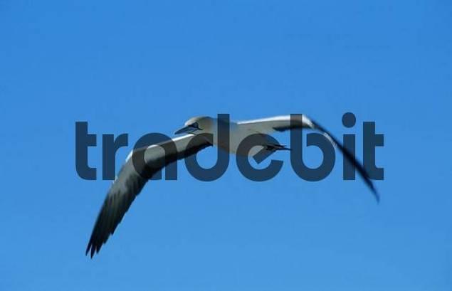 Cape Gannet, Western Cape, South Africa / Sula capensis, Morus capensis