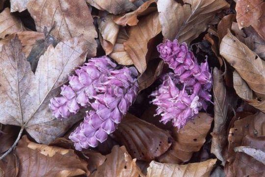Common Toothwort (Lathraea squamaria), North Tyrol, Austria, Europe