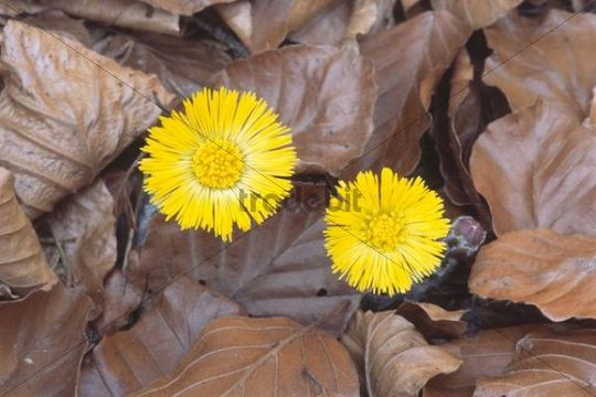 Coltsfoot (Tussilago farfara) growing from fallen leaves, North Tyrol, Austria, Europe
