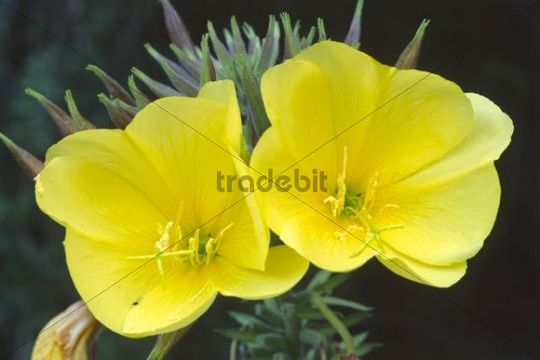 Common Evening Primrose, Evening Star (Oenothera biennis), North Tyrol, Austria, Europe