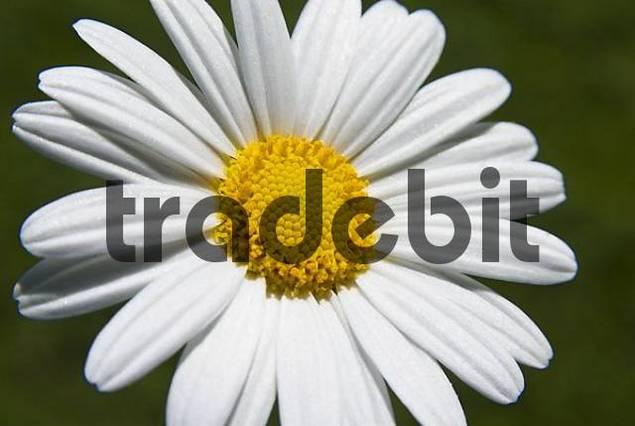 Chrysanthemum blossom detail
