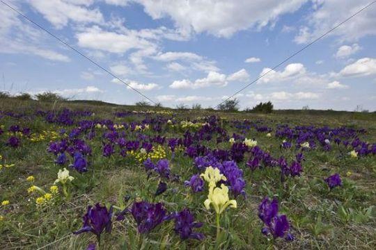 Miniature dwarf bearded iris (Iris pumila), purple, Thenauriegel nature reserve near Breitenbrunn, Burgenland, Austria