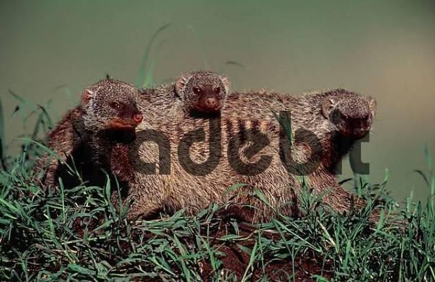 Banded Mongoose, Massai Mara Game Reserve, Kenya / Mungos mungo