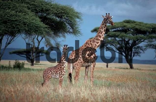 Giraffe with calf, Massai Mara Game Reserve, Kenya / Giraffa camelopardalis tippelskirchii
