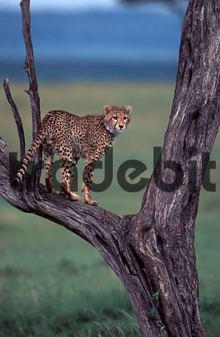 Cheetah on tree, Massai Mara Game Reserve, Kenya / Acinonyx jubatus