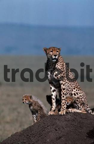 Cheetahs, female with cubs, Massai Mara Game Reserve, Kenya / Acinonyx jubatus