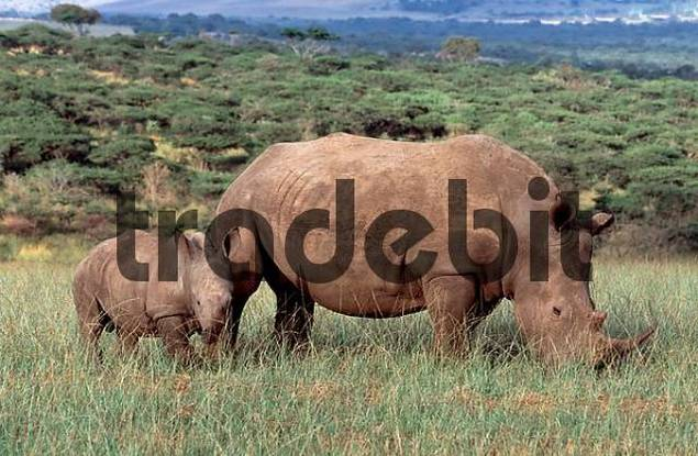 Wide-mouthed rhinoceros, female with young, Umfolozi national park, South Africa / Ceratotherium simum