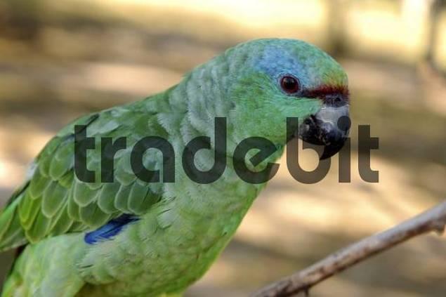 Blue-Fronted Amazon Amazona aestiva