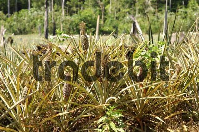 Pineapple plantation on cleared forest areas in the Amazon rainforest Brazil