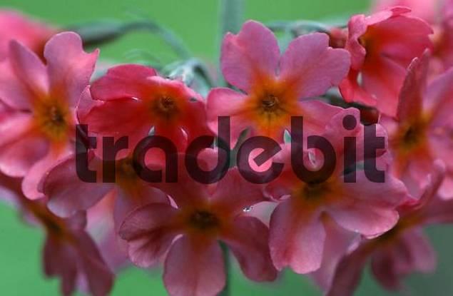 Primrose / Primula beesiana