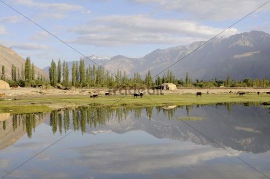 Oasis Hundar, flood area of the river Shyok in front of the oasis, used as a common pasture, Nubra valley, Ladakh, Jammu and Kashmir, North India, India, Asia