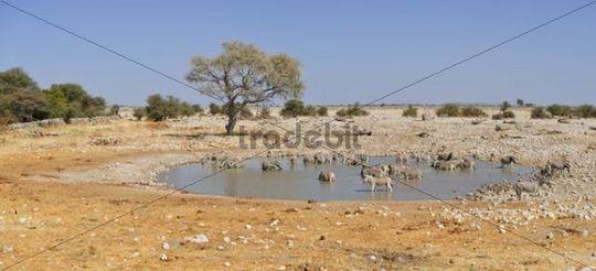 Herd of Plains Zebras (Equus burchelli) at the waterhole of Okaukuejo, Etosha National Park, Namibia, Africa