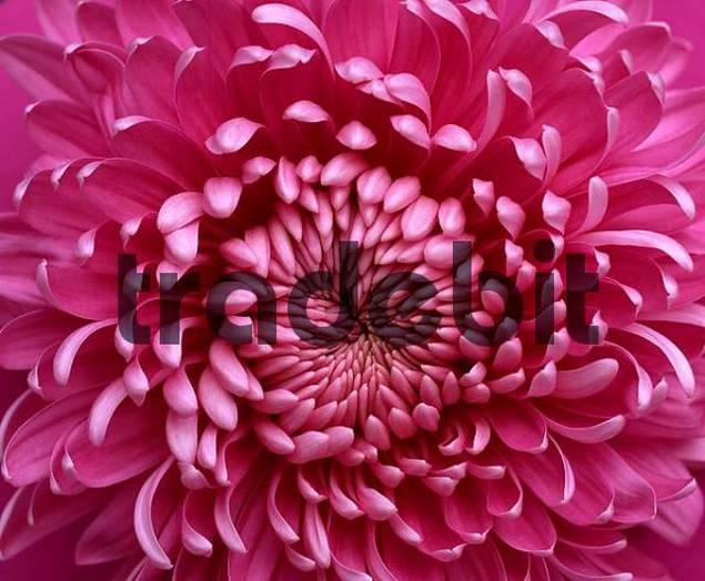 Chrysantheme / Chrysanthemum hybride