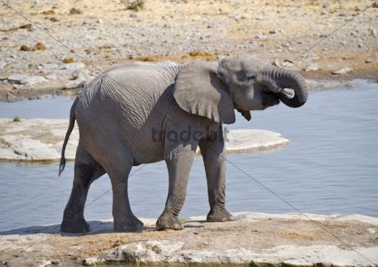 Young African Bush Elephant (Loxodonta africana) at the Moringa waterhole in Halali, Etosha National Park, Namibia, Africa
