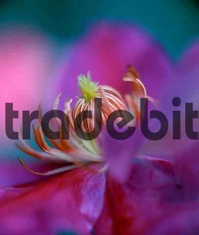 Clematis, blossom detail / Clematis jackmanii